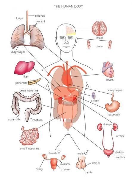 Human Anatomy Organs back | Internal Organs Systems of a Human Body - I