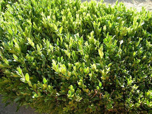 43 best images about piante e giardini on pinterest for Le piante sempreverdi
