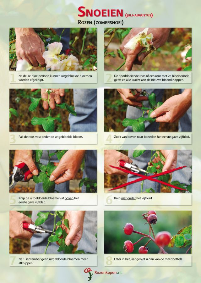 Tips rozen snoeien