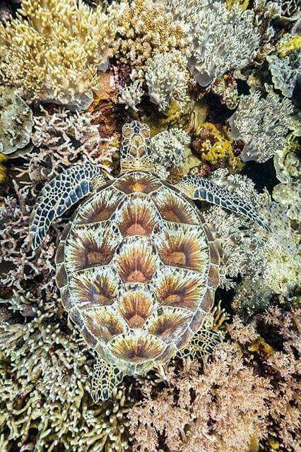 Sea Turtle in a bed of coral
