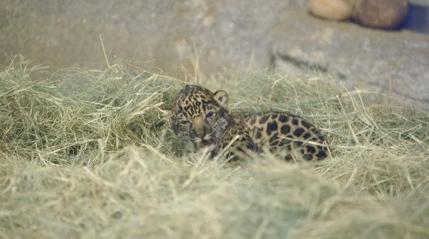 Like, you really can't wake up. | This Sleepy Baby Jaguar Is All Of Us