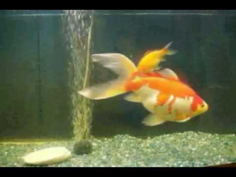 76 best aquaponics images on pinterest aquaponics for Hydroponics and fish