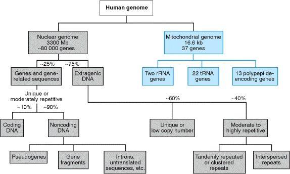 Description  Figure 7 1  Organization Of The Human Genome
