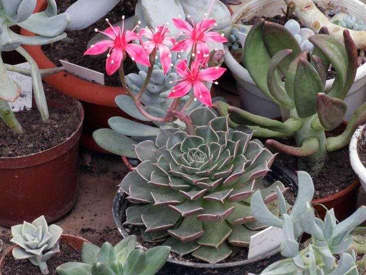 A graptopetalum bemutatása A graptopetalum (Graptopetalum bellum), egy élénk rózsaszín színű virágokkal is díszítő, pozsgás növény. Maga a növény meglehetősen alacsony, húsos levelei tőlevélrózsát alkotnak. A csillag alakú, helyes virágok, vékony száron fejlődnek ki....