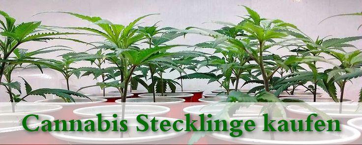 Cannabis Stecklinge kaufen & Marihuana Pflanzen http://hanfsamenkaufenlegal.com/cannabis-stecklinge-kaufen