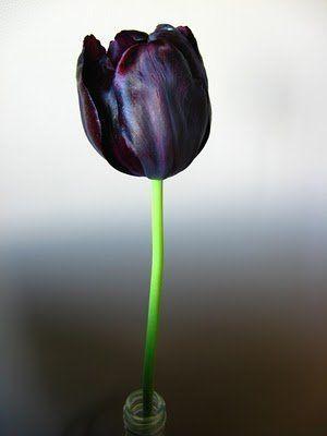 My favourite flower...black tulip!