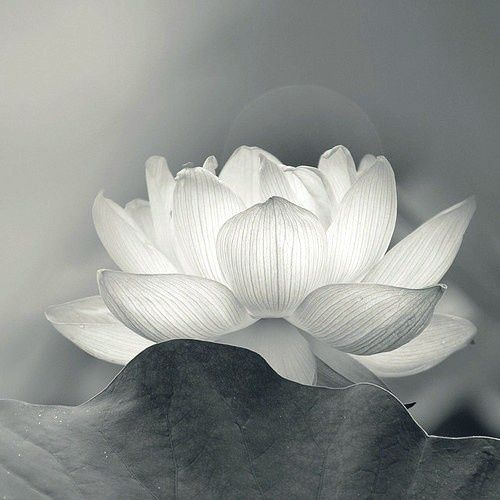 Black and white photo of a water lily