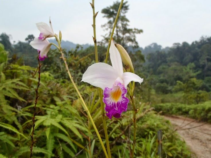 Wild Orchid In Bukit Tigapuluh National Park