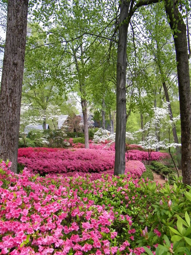 The spectacular North Carolina Azaleas