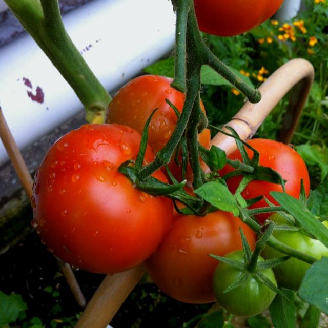 Juicy tomatoes in Arundel Castle's kitchen garden