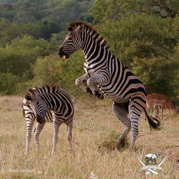 Zebra confrontation