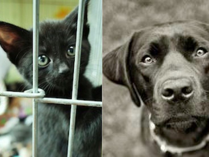 Save Black Dogs and Cats in Shelters From Being Disproportionately Euthanized - To mitigate Black Dog Syndrome, a phenomenon that causes shelters to indiscriminately euthanize black dogs and cats nationwide :-( https://forcechange.com/18705/save-black-dogs-and-cats-in-shelters-from-being-disproportionately-euthanized/