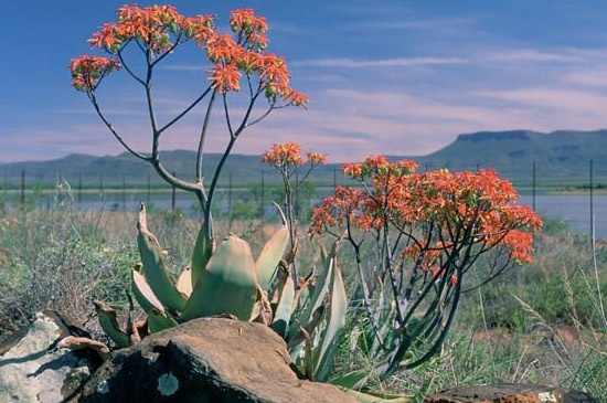 Aloes, Valley of Desolation, Eastern Cape, South Africa