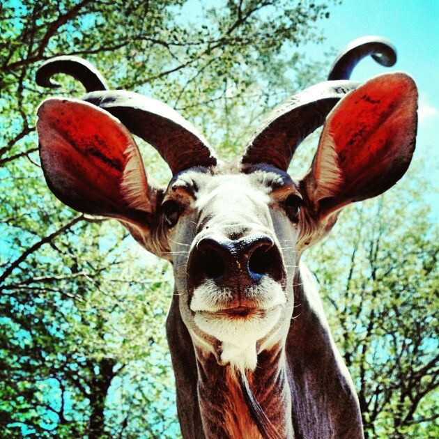 Kudu @ honeybadgersafarihouse. Photo by Jonathan Couzens