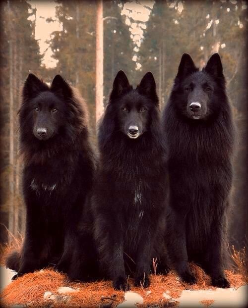 1000  images about belgian shepherds on pinterest