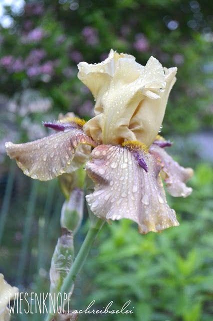 Iris barbata Thornbird