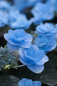 Blue Hydrangea Macrophylla – #cop21 #globalwarming #climatechange More at http://www.GlobeTransformer.org
