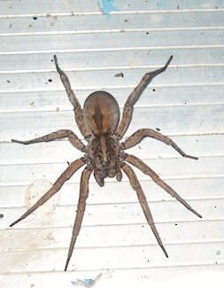 Wolf Spider, saw a couple of these for real, they are huge! I'm cool with spiders, but these give me the willies!