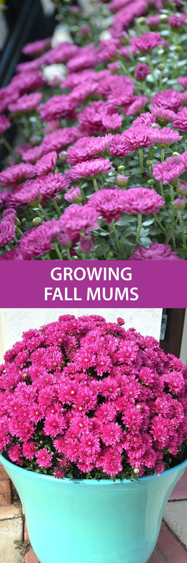 How To Get The Best Color From Your Fall Mums