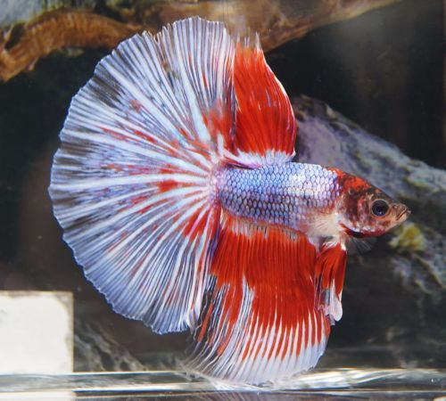 157 best images about siameese vechtvissen on pinterest for Ebay betta fish