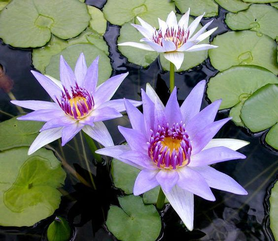 72 best water garden plants images on pinterest aquatic for Recommended pond plants