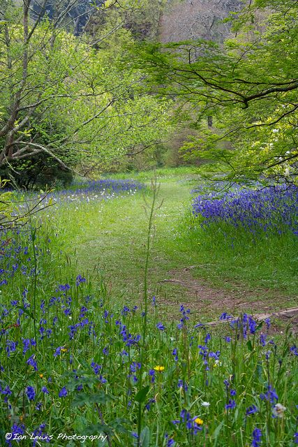Bluebells line a grassy pathway through the valley at Glendurgan National Trust garden in Cornwall.