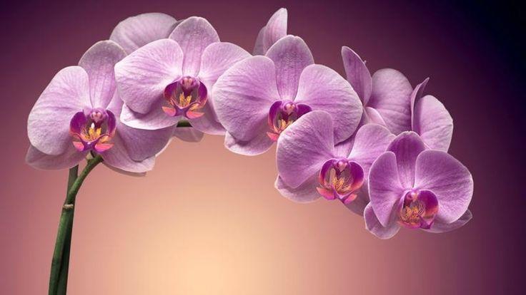 orquideas moradas - Buscar con Google