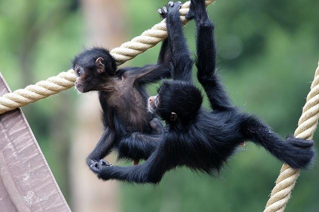 Slingerapen babys by JeanKern, via Flickr
