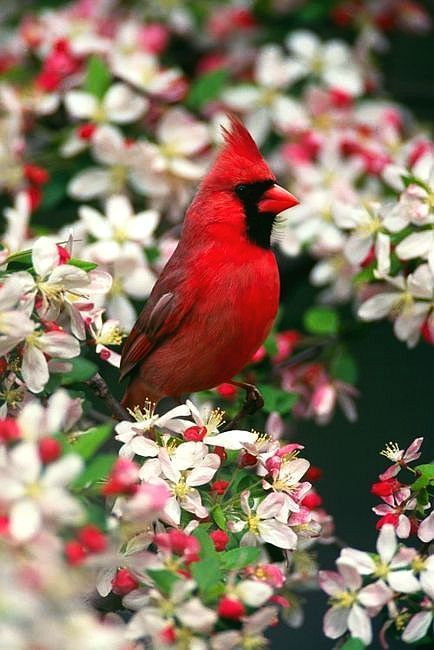 ~*Cardenal...Red*~