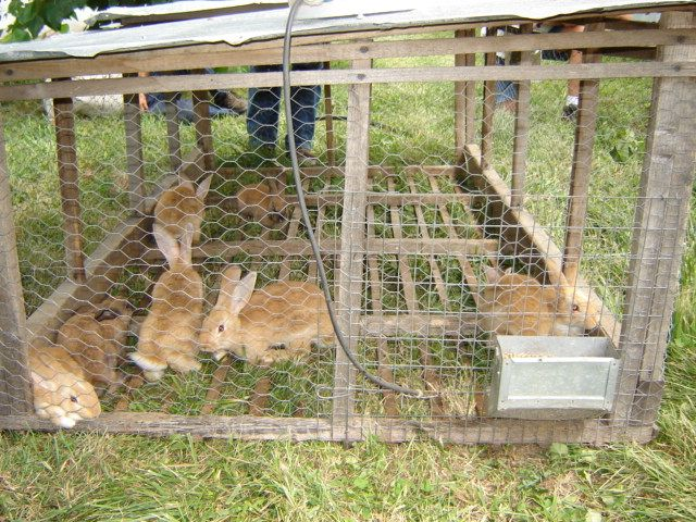 Most breeds of rabbits, unlike wild rabbits, cannot thrive on a diet of pure grazing. Polyface Farms has developed a strain of rabbits that will thrive on pasture with little or no supplementation.