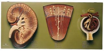Kidney Model: Capsule, Cortex, Medulla, Medullary Pyramids, Renal Columns, Calyces, Renal Pelvis, Cortical & Juxtamedullary Nephrons, Bowman's Capsule, Proximal Convoluted Tubule, Loop of Henle, Distal Convoluted Tubule, Collecting Duct, Afferent/Efferent Arteriole, Peritubular Capillaries, Vasa Recta