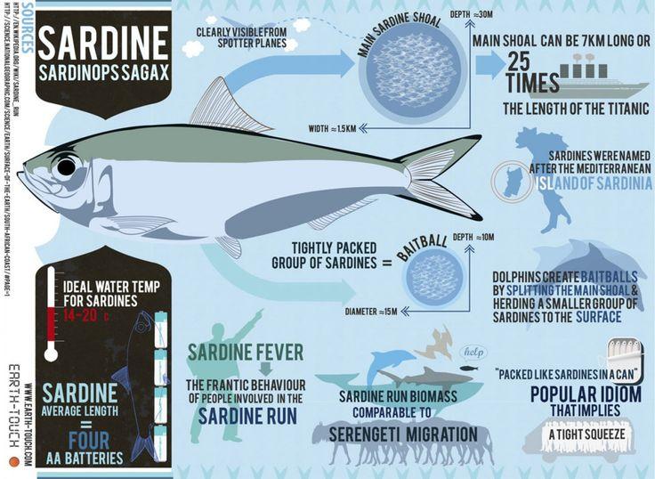 Sardines Infographic