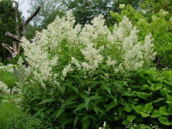 La Persicaira Polymorpha, une plante qui fait le show dans le jardin !