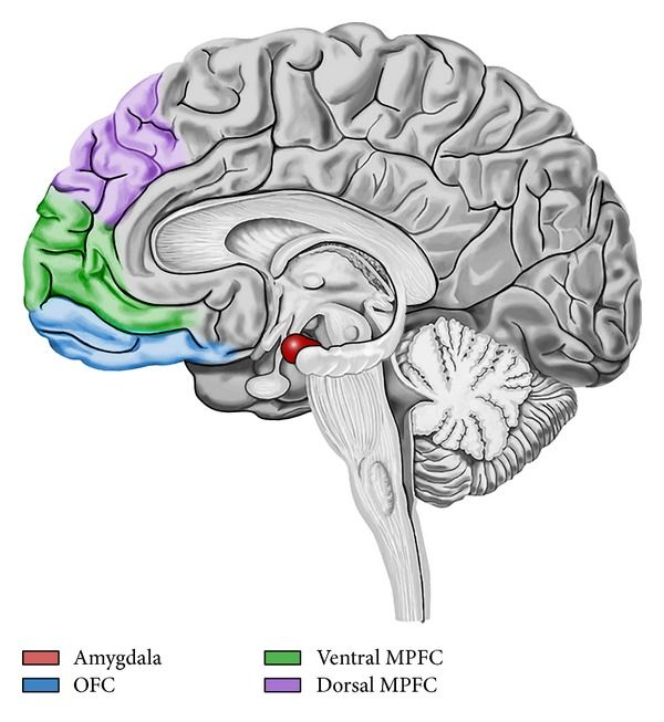 Amygdala-frontal circuit of emotion regulation. Prefrontal cortex seems to be involved in the modulation of the amygdala reactivity, a critical structure for the generation of negative emotions. During reappraisal, enhanced activation in medial prefrontal cortex (MPFC) is associated with attenuation of amygdala activation and with a reduction of negative affect intensity. Orbitofrontal cortex (OFC) coordinates the interactions between these areas.