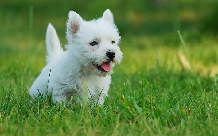 Indir duvar kağıdı West Highland Beyaz Terrier, sevimli hayvanlar, köpek, Westies