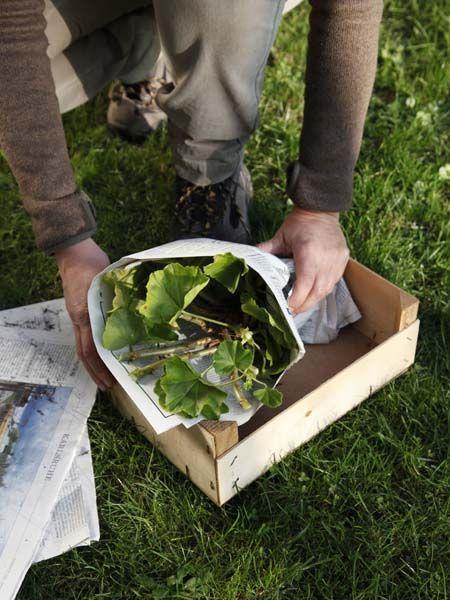 die besten 25 geranien ideen auf pinterest geranien pflanzen winter container gartenarbeit. Black Bedroom Furniture Sets. Home Design Ideas