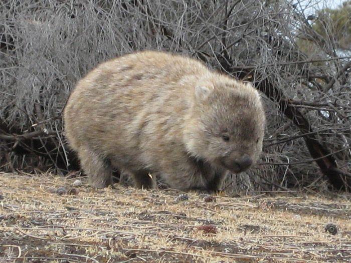 Wombat hahaha its so cute