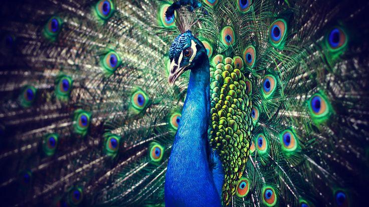 Tim: Påfugl