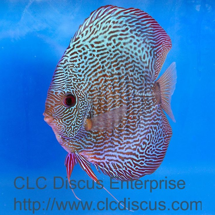 Discus fish snakeskin 800 800 pixels discus for Live discus fish for sale