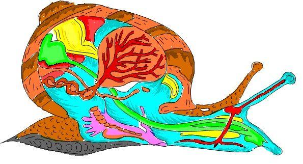 Snail cross section