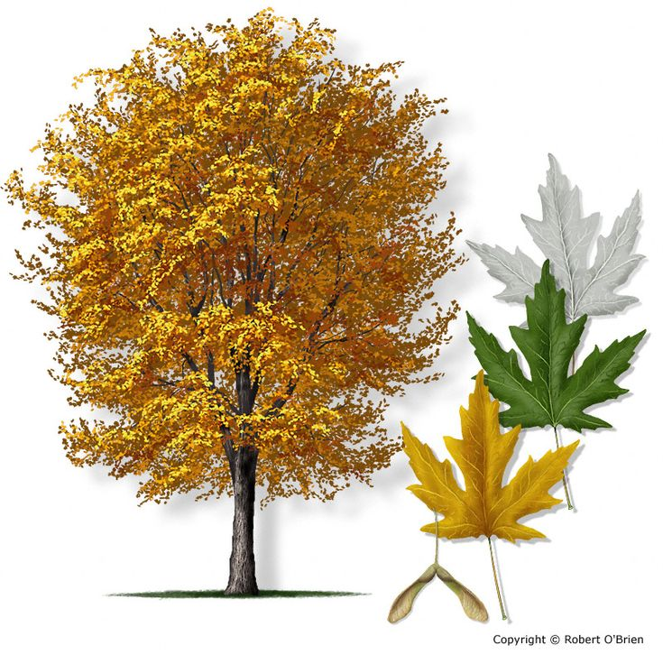 I think the tree in the front yard is silver maple. Wait for the spring/summer to confirm. If not, it might be bigtooth maple.