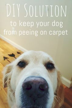 DIY natural pee repellant carpet spray! Help keep your dog from peeing on your carpet!