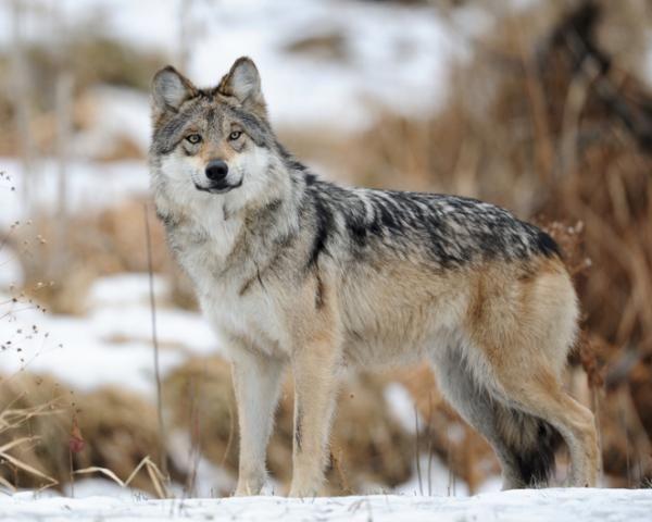 Te Preguntas Por Qué Está En Peligro De Extinción El Lobo Gris Mexicano En Ecologíaverde Ta Hablamos De Las Caract Lobo Gris Mexicano Lobo Gris Lobo Mexicano