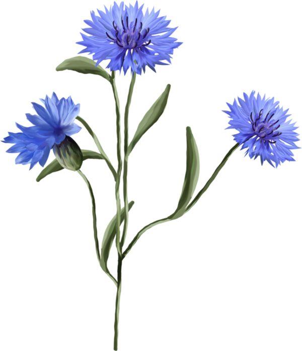 Fleurs sauvages dessin - Coloriage fleur bleuet ...