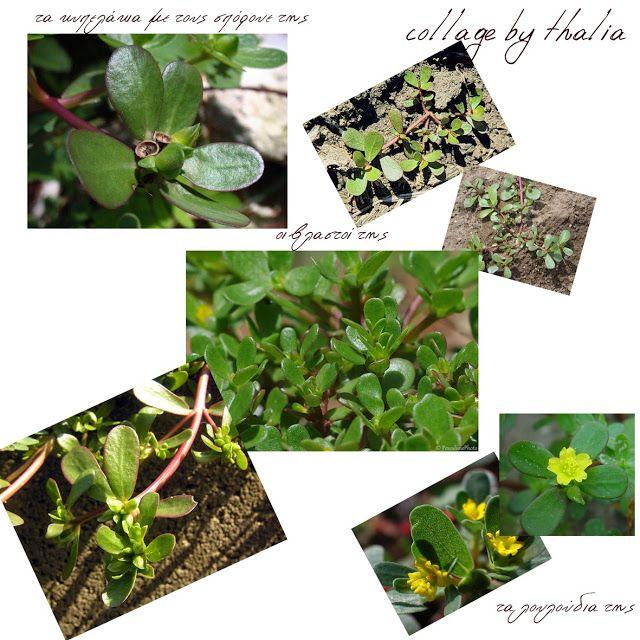 ΒΟΤΑΝΑ ΚΑΙ ΥΓΕΙΑ: αντράκλα , ένα παρεξηγημένο φυτό το οποίο έχει χαρ...