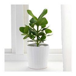 IKEA - CLUSIA, Pflanze