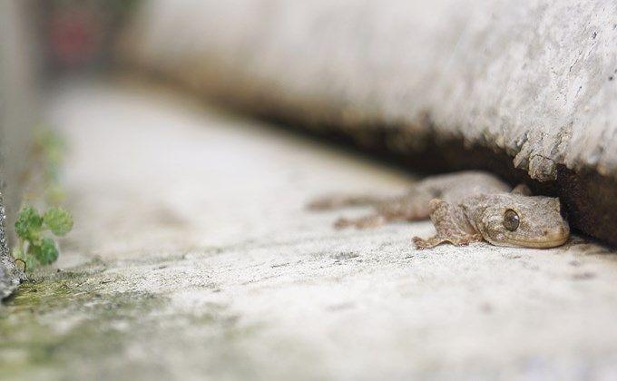 ニホンヤモリの生態と飼育方法 飼育の注意点や寿命 販売価格はどのくらい Woriver ニホンヤモリ ヤモリ トカゲ