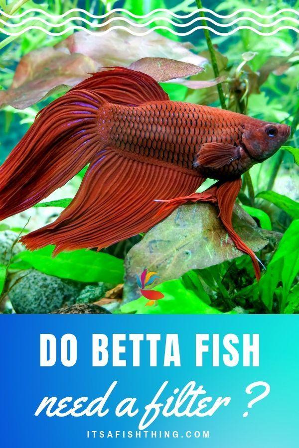 do betta fish need a filter in their tank? | betta fish | pinterest ...