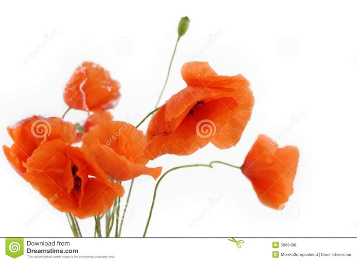 10 best poppy flowers images on pinterest poppies poppy flowers poppiy flowers free poppy flowers royalty free stock image image 5968496 mightylinksfo Images