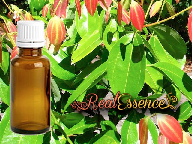 Cinnamon Leaf 100% Pure & Natural AROMATHERAPY Essential Oil 100 ml amber bottle